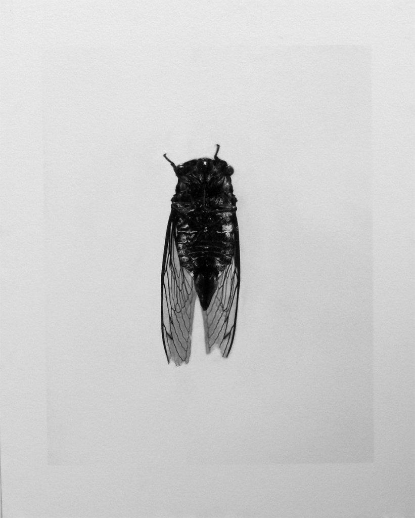 Imago - Cicada, 2015.
