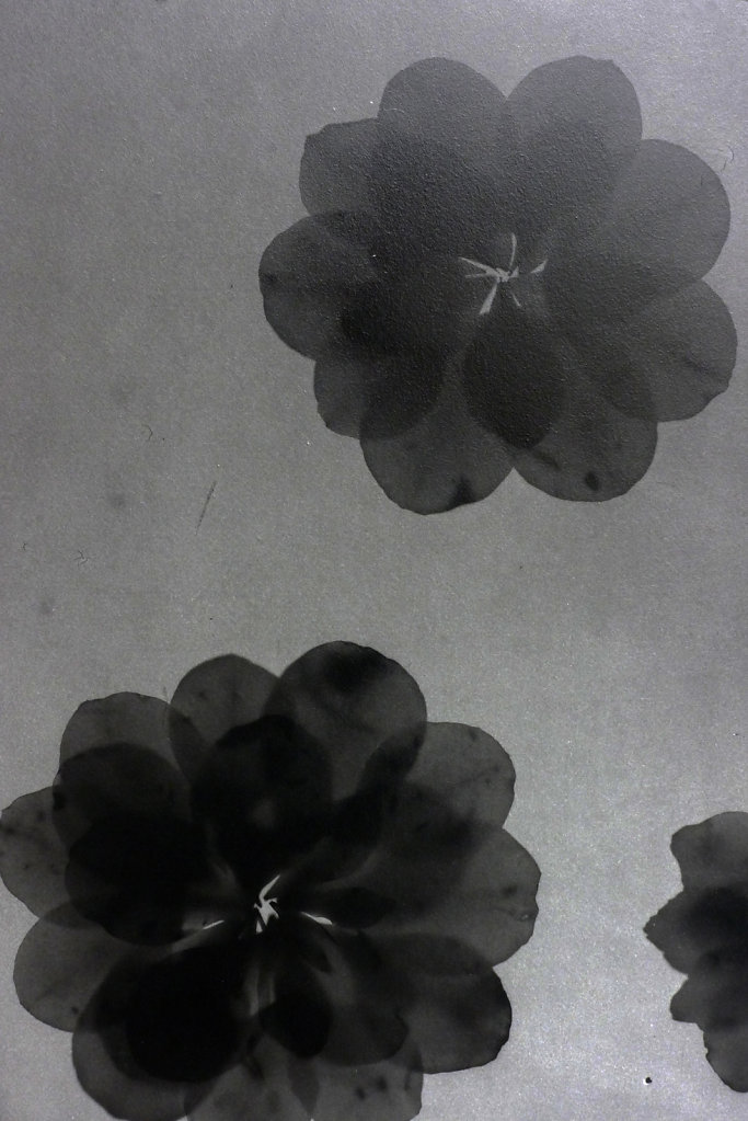 Camelias (photogram-detail), 2016.